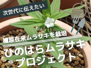 次世代に伝えたい 檜原在来ムラサキを栽培 ひのはらムラサキプロジェクト