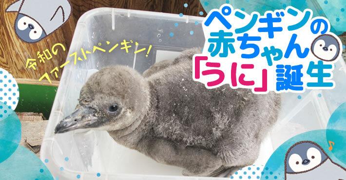 羽村市動物公園ペンギンの赤ちゃんうに誕生