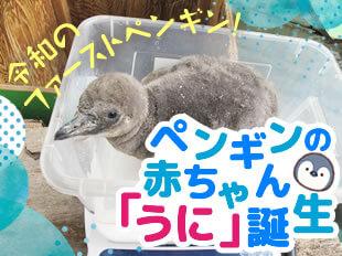 令和のファーストペンギン! ペンギンの赤ちゃん「うに」誕生
